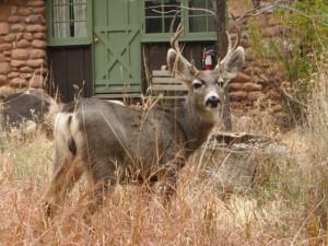 Friendly mule deer