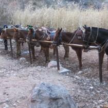 Mule friends