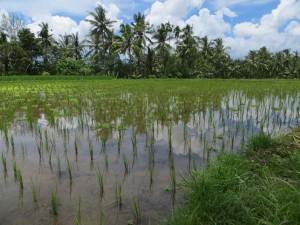 Walking past Sari Organik rice fields.
