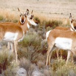 Pronghorn Deer... second fastest animals in the world.
