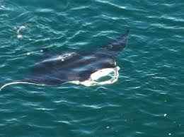 Manta ray from the surface