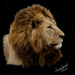 Lion Profile03long