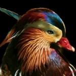 Mandrine Duck02